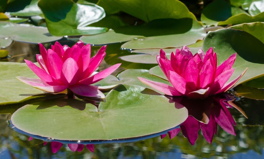 pexels-water lilies